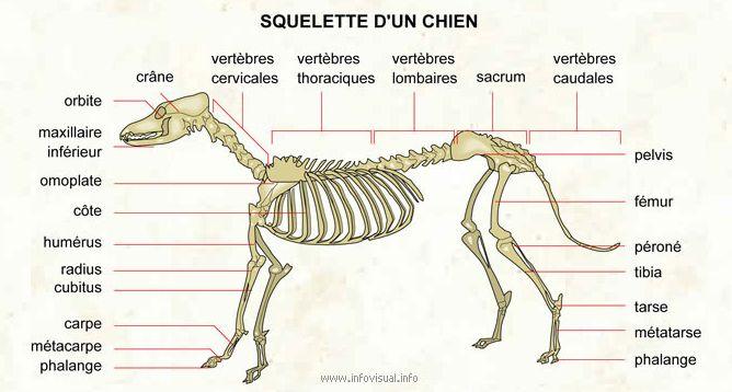 squelette chien